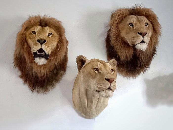 Animal Replicas lions by Artist Ami Zarug
