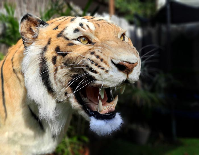 Animal Replicas Tiger by Artist Ami Zarug
