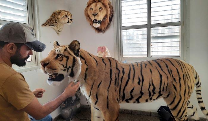 Tiger life-size replica by Artist Ami Zarug