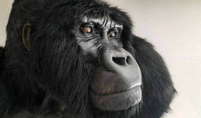 Silverback gorilla Replicas by Ami Zarug